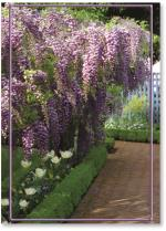 Wisteria And Path